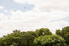 Little red flying fox, Pteropus scapulatus, colony in flight Stock Image
