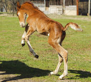 Little red foal running on the sand in the paddock Royalty Free Stock Images