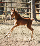 Little red foal running on the sand in the paddock Royalty Free Stock Photography