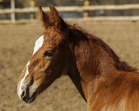 Little red foal running on the sand in the paddock Stock Images