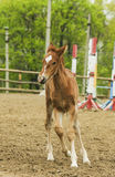 Little red foal running on the sand in the paddock Stock Image