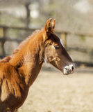 Little red foal running on the sand in the paddock Stock Photography