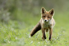 Little red fox Stock Image