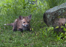 Little Red Fox Royalty Free Stock Photo