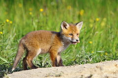 Little red fox cub Stock Photography