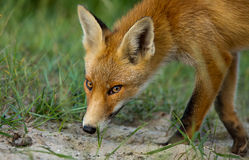 Little Red fox in the dunes Stock Photos