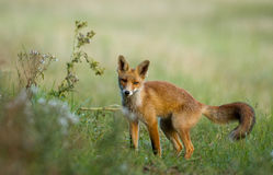Little Red fox in the dunes Royalty Free Stock Images