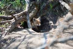 Little red fox in the hole. Photo of little red fox in the hole Royalty Free Stock Image