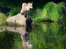 Little Red Fox showing his reflection in water. Stock Image