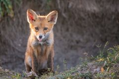 Little Red Fox sitting near his burrow with his tongue hanging out Royalty Free Stock Photo