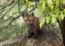 Little Red Fox Sitting on a Rock Royalty Free Stock Image