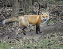 Little Red Fox is surprised and stares at the camera. Little wild Red Fox has his tail elevated, and stares at the camera Royalty Free Stock Image