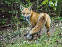 Little Red Fox is surprised and stares at the camera. Little wild Red Fox has his tail elevated, and stares at the camera Stock Images