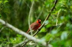 Little red friend stock photography