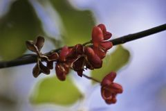 A little, red, gentle, floret on a tree twig. A little, red, gentle,  floret on a tree twig Royalty Free Stock Photography