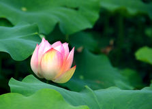A little red in the green leaves. A green lotus leaf, a lotus blossoms enthusiasm, show its beautiful colors Stock Photos