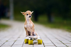 The little red-haired chihuahua dog sitting on a skateboard. Stock Photo