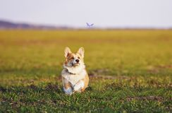 Little red-haired Corgi puppy runs around the green meadow and fun trying to catch a flying blue butterfly on a Sunny day. Cute little red-haired Corgi puppy stock photo