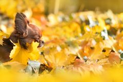 Chihuahua in yellow leaves stock photography