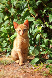 Little red-haired kitten Royalty Free Stock Photos