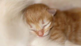 Little red-haired newborn kitten Royalty Free Stock Image