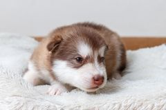 The little red-headed puppy of breed the Alaskan Malamute lying on the floor and looking at the camera.  Stock Photography