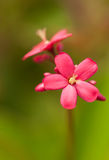 Little red jatropha flower Stock Photography
