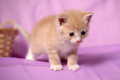 Little red kitten Stock Photo
