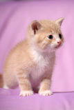 Little red kitten Royalty Free Stock Images