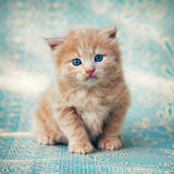 Little red kitten Royalty Free Stock Photos