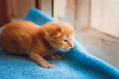 A little red kitten royalty free stock images