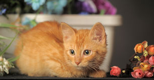 Little red kitten Royalty Free Stock Photography