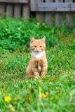 Little red kitten Royalty Free Stock Image