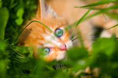 Little red kitten is at the grass Royalty Free Stock Photo