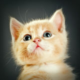 Little red kitten Stock Photography