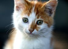 Little red kitten large muzzle. Stock Photo