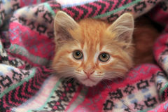 Little red kitten Stock Photos