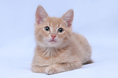 Little red kitten looking at the camera on a light background Royalty Free Stock Images