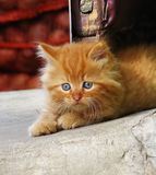 Little red kitten looking to the side Stock Images