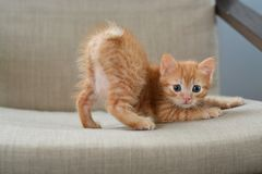 The little red kitten plays on the armchair, arches the back of the arc looking directly at us. Beige and orange color. The little red kitten plays on the royalty free stock image