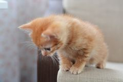 The little red kitten plays on the armchair, looks down. Beige and orange color. The little red kitten plays on the armchair, looks down. Horizontal photo. Beige royalty free stock photography