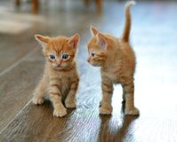 The little red kitten plays on the floor, looking directly at us. Beige and orange color. The little red kitten plays on the floor looking directly at us royalty free stock image