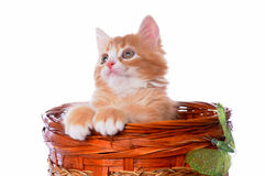 Little red kitten pops up from the basket Royalty Free Stock Image