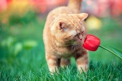 Red kitten sniffs tulip flower. Little red kitten sniffs tulip flower in a garden in spring royalty free stock photos