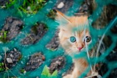 Little red kitten with yellow eyes royalty free stock photo