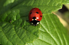 Little red ladybug. A little red ladybug sitting on a green leaf Royalty Free Stock Photos