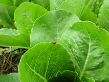 Little red ladybug walking on the edge of bright green vegetable leaf Royalty Free Stock Image