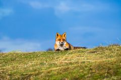 The lazy little red fox Stock Images
