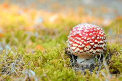 Little red mushroom in autumn forest Royalty Free Stock Photos
