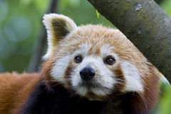 Little red panda bear Stock Image